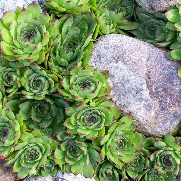Huislook (Sempervivum) Groen
