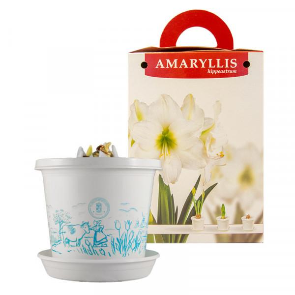Amaryllis Arctic Nymph op pot in geschenkdoos
