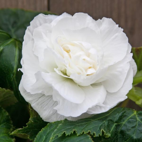 Begonia dubbel wit