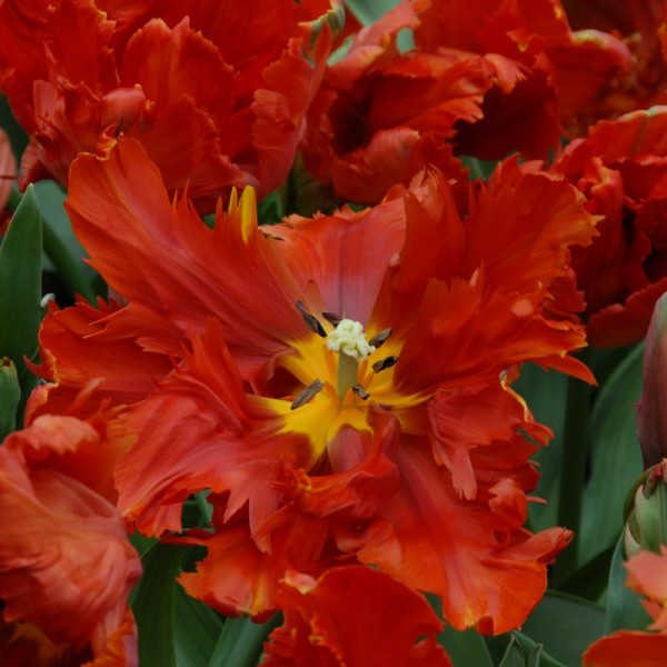 Tulp Red Bright Parrot