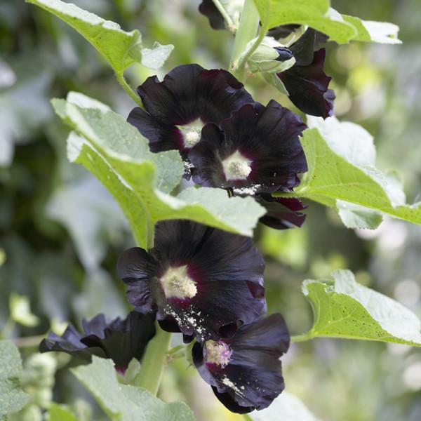 Stokroos (Alcea rosea) 'Nigra'