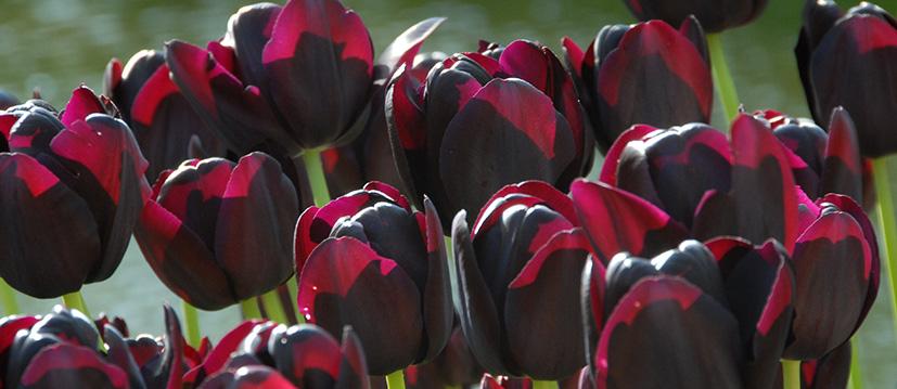 Enkele Late Tulpen