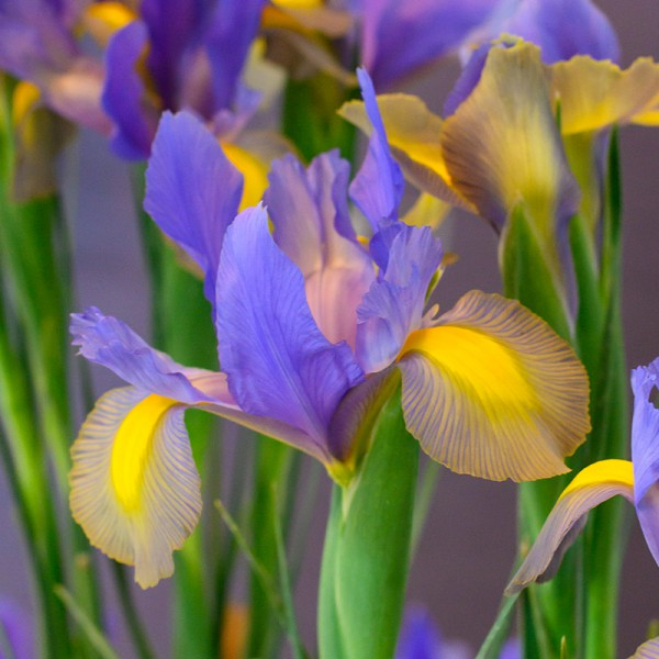 Iris Mystic Beauty