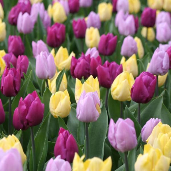 Tulp midden bloeiend gemengd