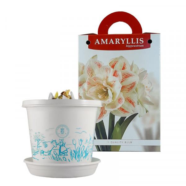 Amaryllis Nymph op pot in geschenkdoos
