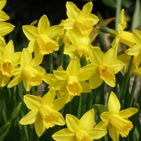 Grootverpakking Narcis Tête-à-Tête