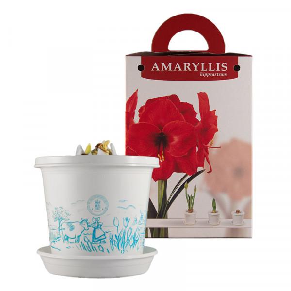 Amaryllis Red Pearl op pot in geschenkdoos