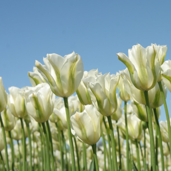 Tulp Spring Green