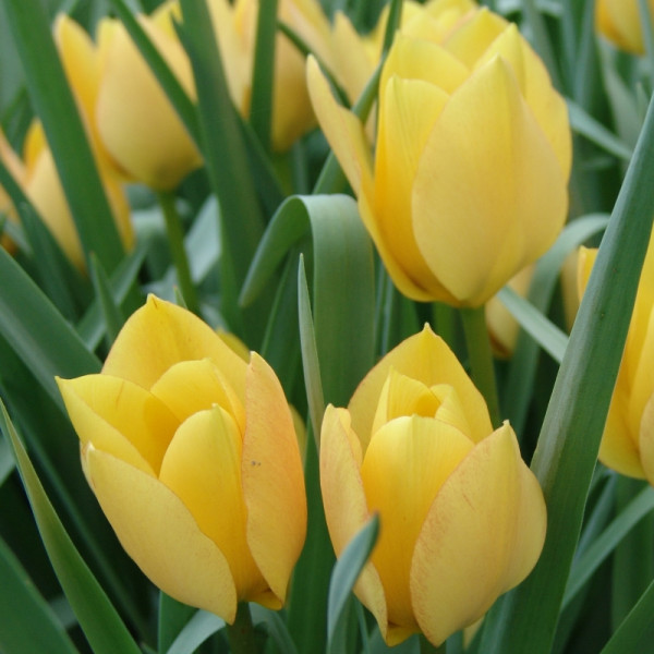 Tulp batalinii Bright Gem
