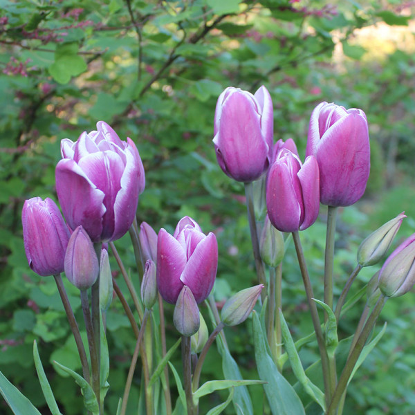 Tulp Purple Elegance