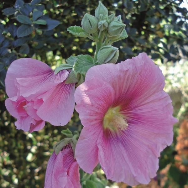 Alcea rosea (Stokroos)