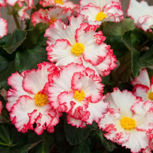 Begonia Crispa Margina wit-rood