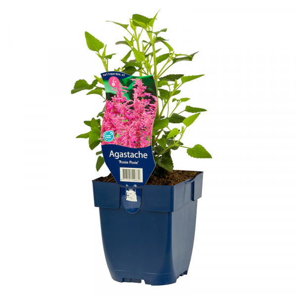 Dropplant (Agastache) 'Rosie Posie'