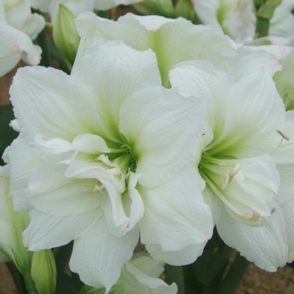 Amaryllis White Nymph