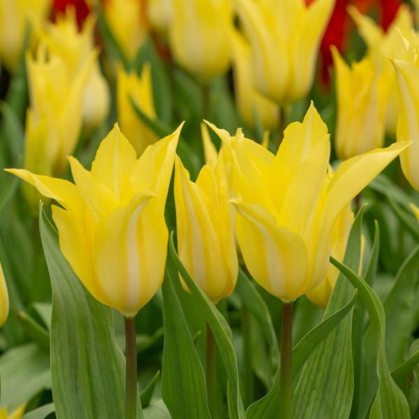 Tulp Florijn Chic