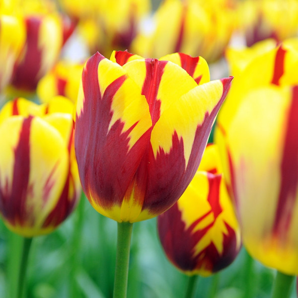 Tulp Holland Queen®