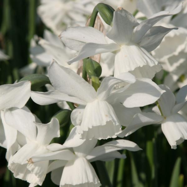 Grootverpakking Narcis Thalia