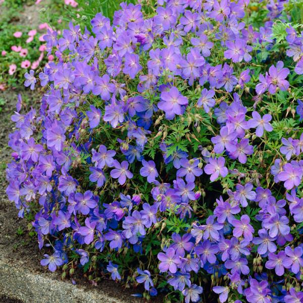 Ooievaarsbek (Geranium) 'Johnson's Blue'