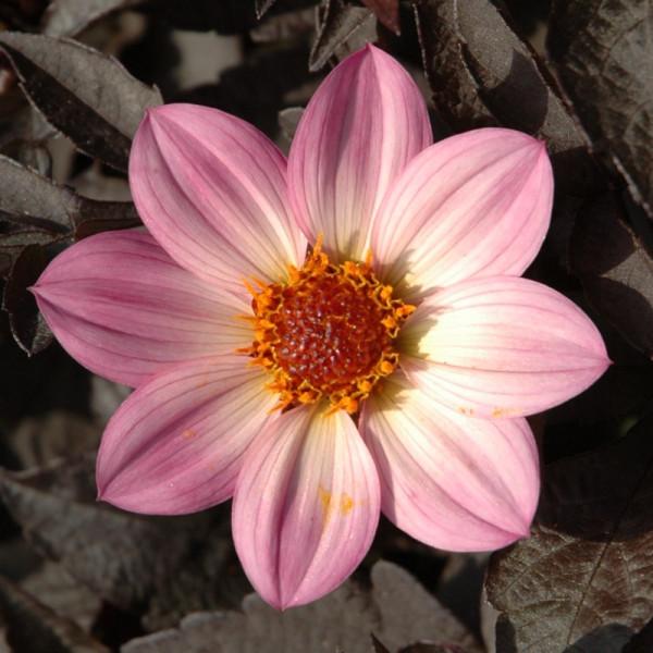Dahlia Happy Days Pink
