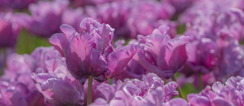 Parkiet Tulpen