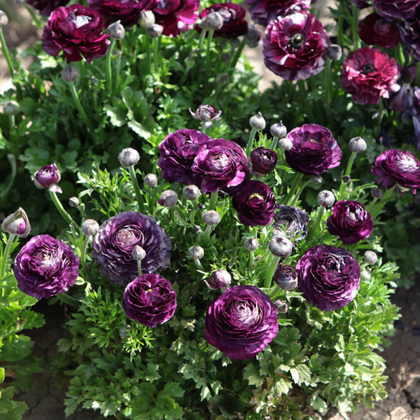Ranunculus Aviv paars