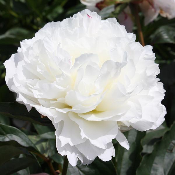 Pioen lactiflora 'Shirley Temple'