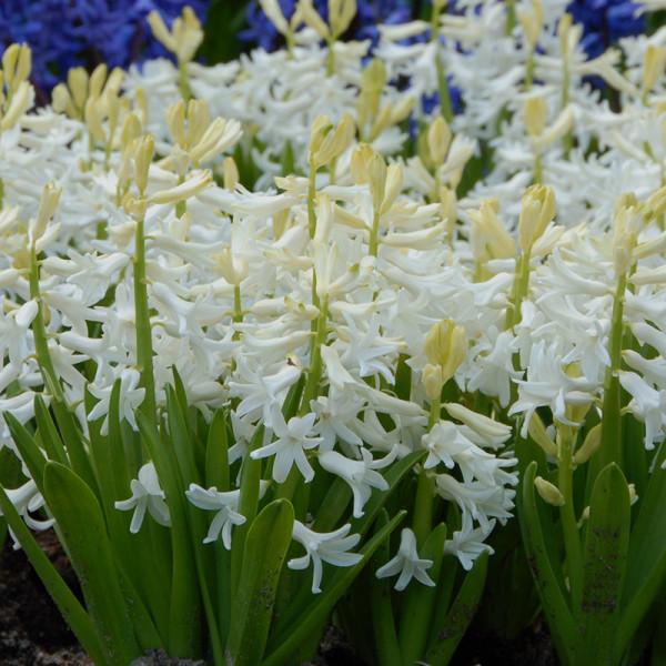 Hyacinthus multiflora white