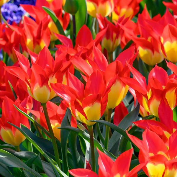 Tulipa Flames Mystery