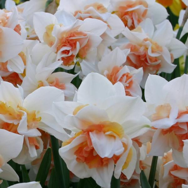 Narcis Replete