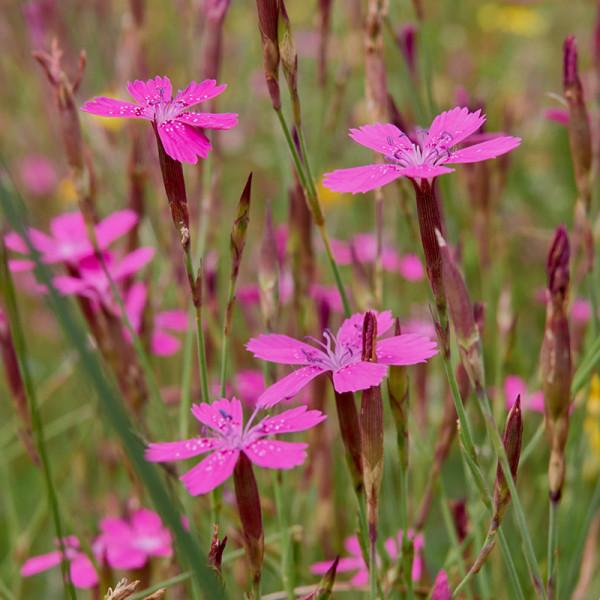 Steenanjer (Dianthus delt.) 'Splendens'