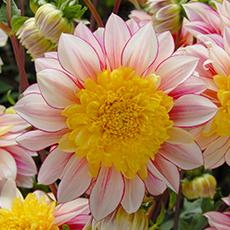 Alles-over-Dahlias-Anemoon