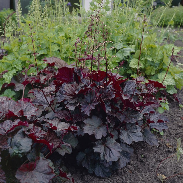 Heuchera micr. 'Palace Purple'