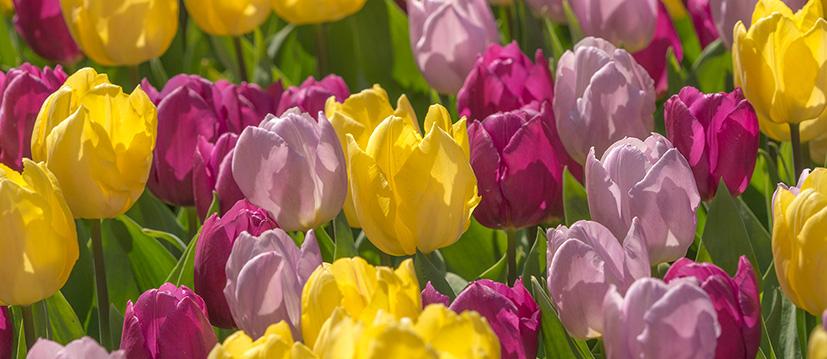 Enkele Vroege Tulpen
