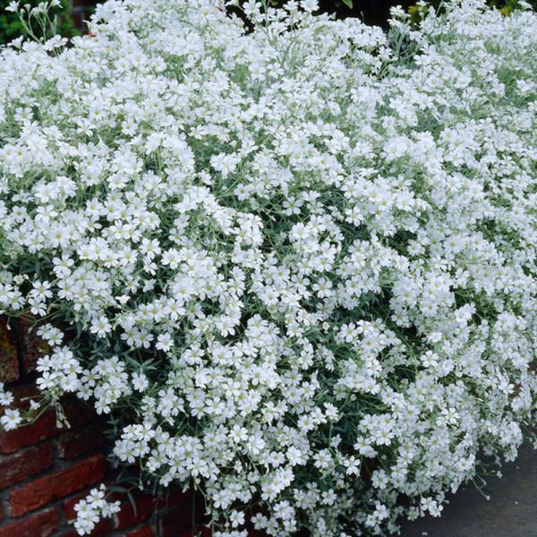 Hoornbloem (Cerastium biebersteinii)