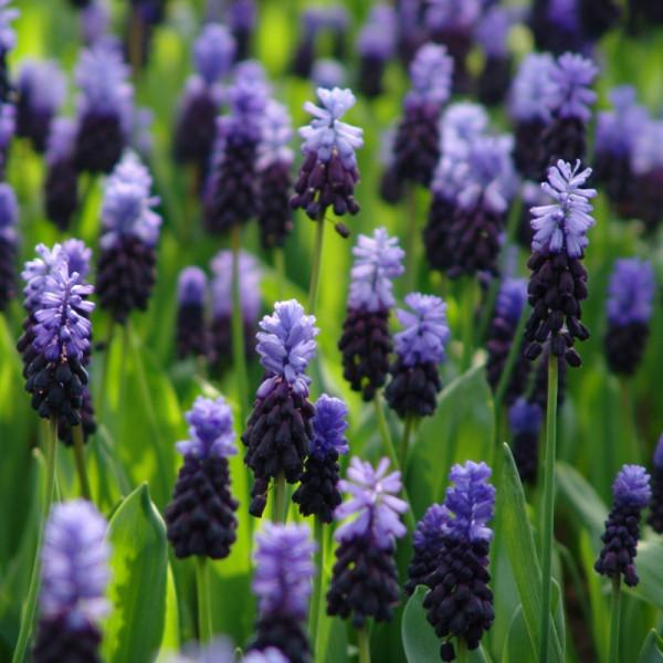 Blauw druifje latifolium