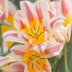 Alles-Over-Tulpen-greigii