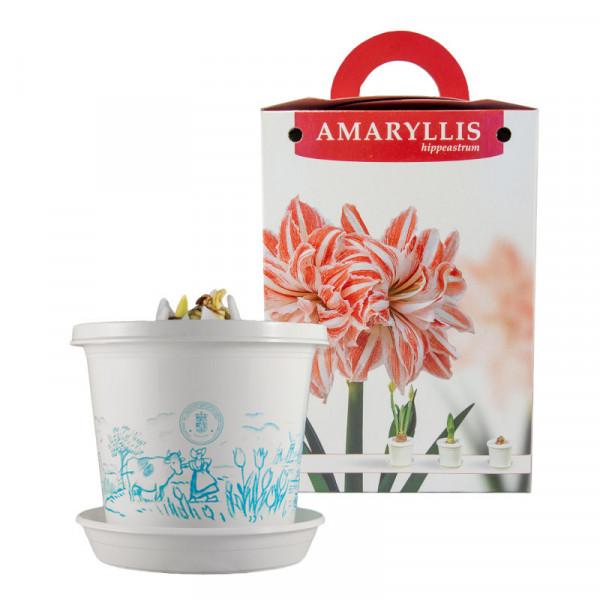 Amaryllis Dancing Queen op pot in geschenkdoos