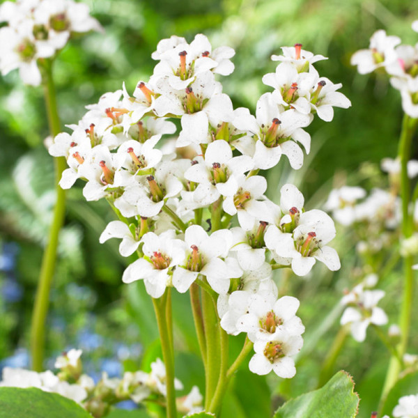 Schoenlappersplant (Bergenia) 'Bressingham White'