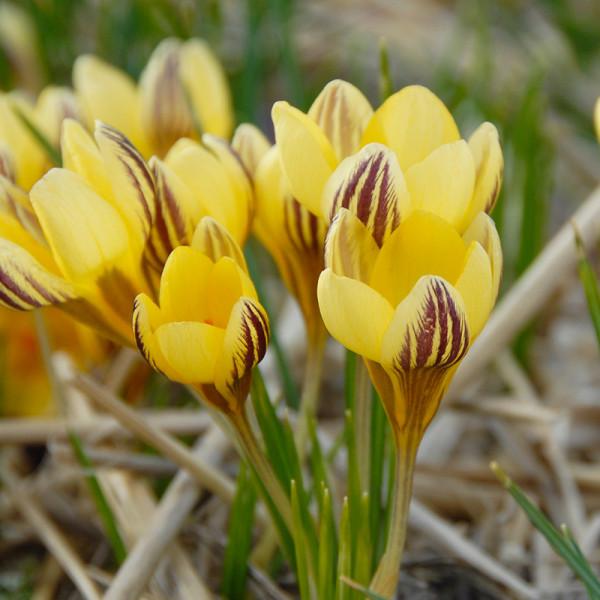 Krokus chrysanthus Gipsy Girl