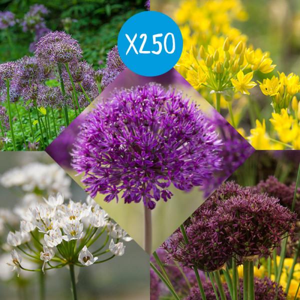 Bloembollen Pakket Alliums, à 250