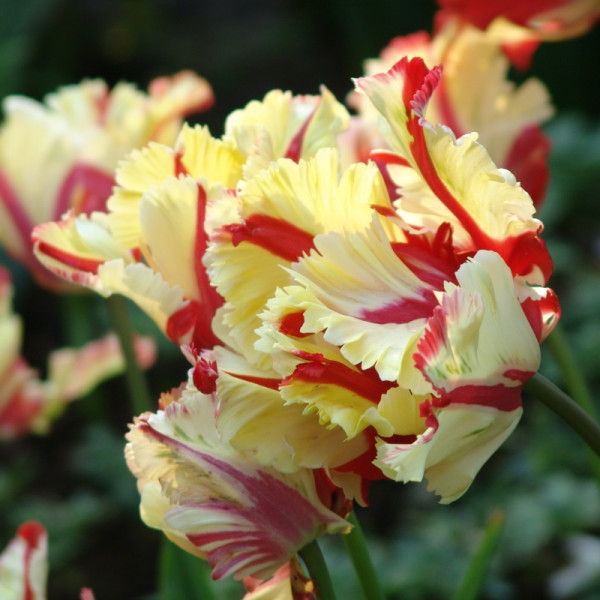 Tulp Flaming Parrot
