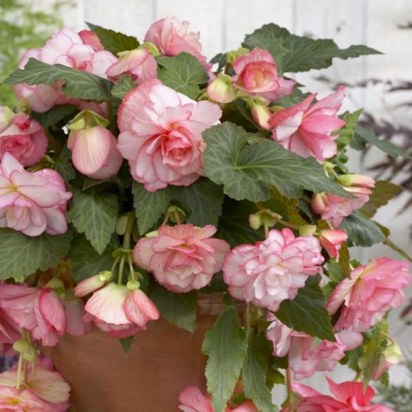 Begonia pendula roze