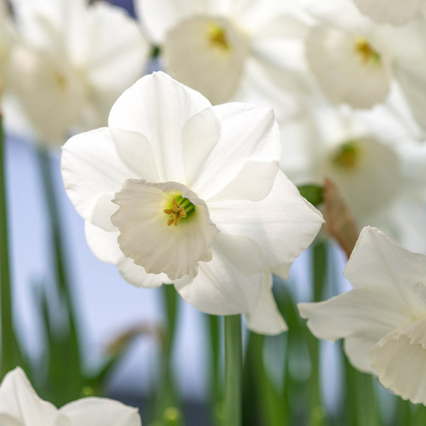 Narcis Stainless