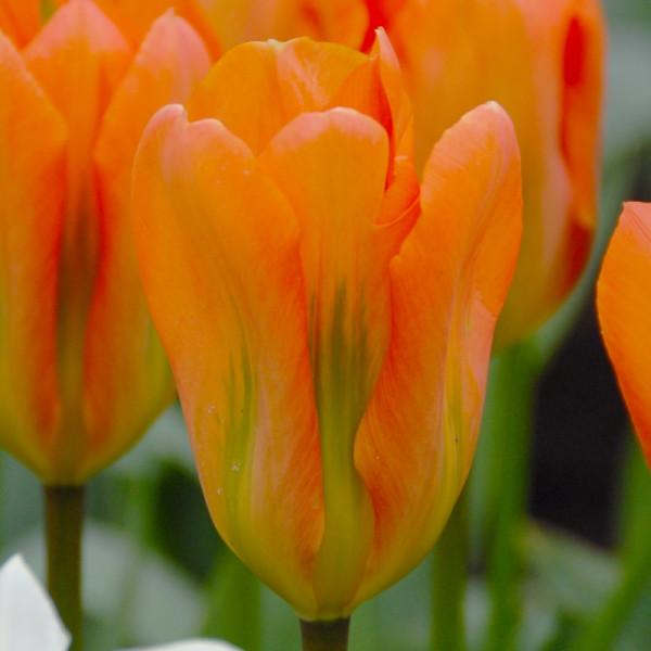Tulp Orange Emperor