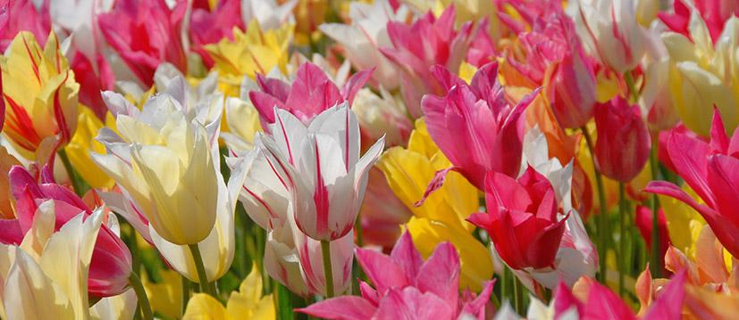 Leliebloemige Tulpen