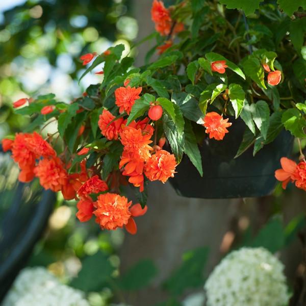Begonia pendula oranje