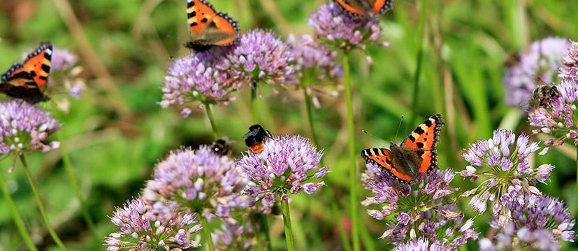 Bijen- en vlinderlokkers