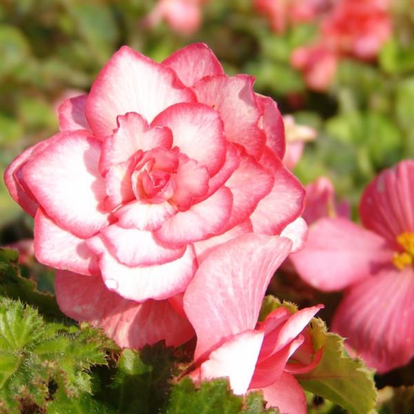 Begonia Bouton de Rose