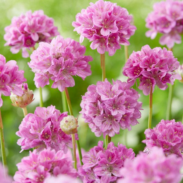 Engels Gras (Armeria) 'Ballerina Lilac'