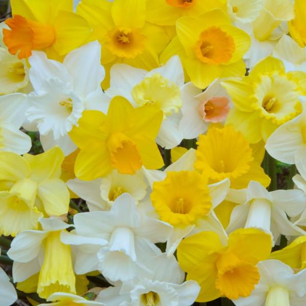 Narcis Trompet gemengd